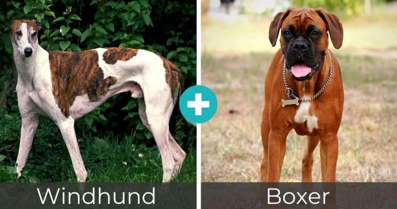 Windhund Boxer Mix