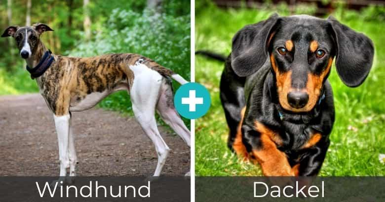 Windhund Dackel Mix