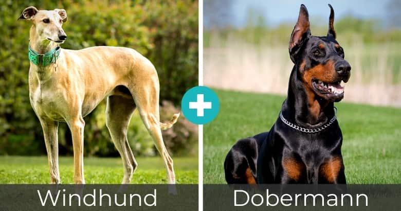 Windhund Dobermann Mix