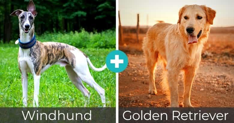 Windhund Golden Retriever Mix
