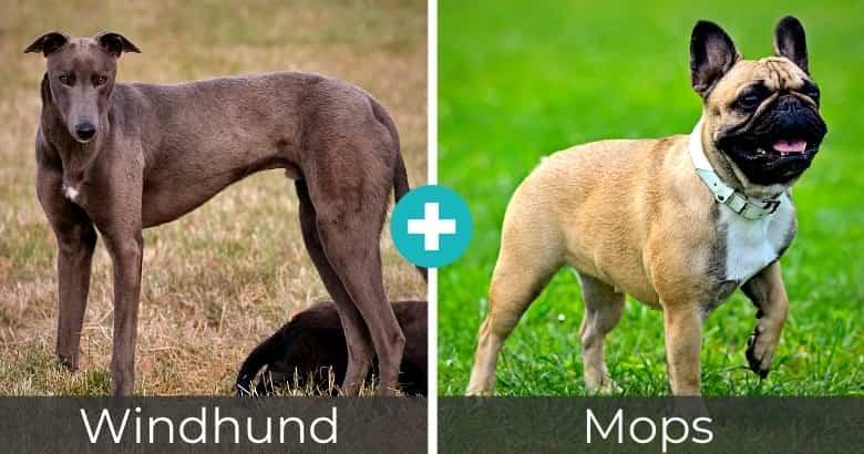 Windhund Mops Mix