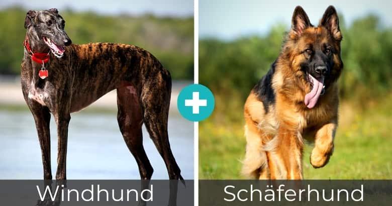Windhund Schäferhund Mix