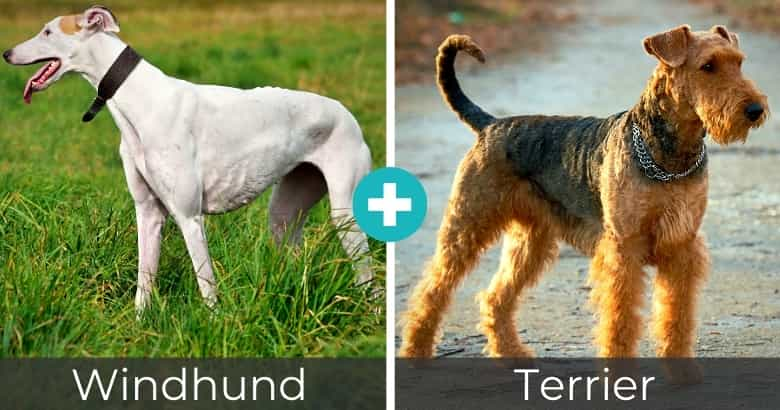 Windhund Terrier Mix