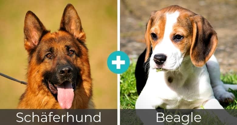Schäferhund Beagle Mischling