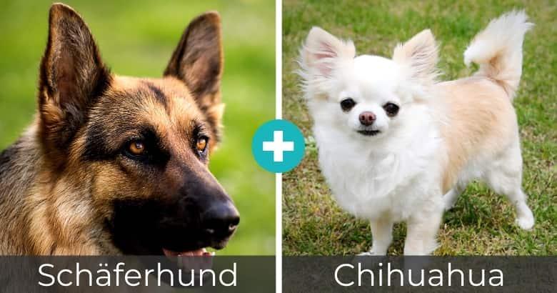 Schäferhund Chihuahua Mischling