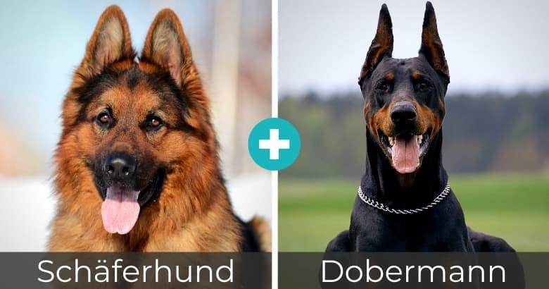 Schäferhund Dobermann Mischling