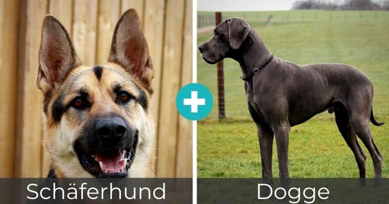 Schäferhund Dogge Mischling