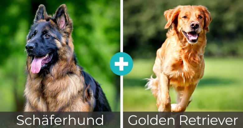 Schäferhund Golden Retriever Mischling