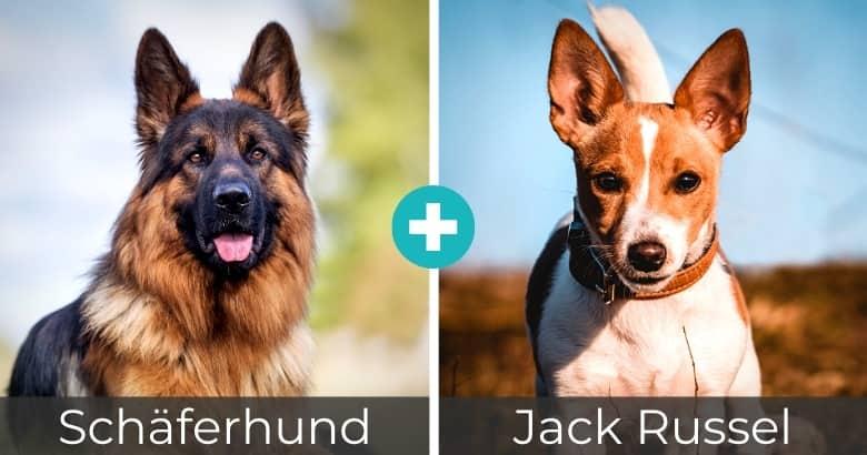 Schäferhund Jack Russel Mischling
