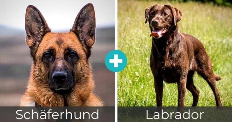Schäferhund Labrador Mischling
