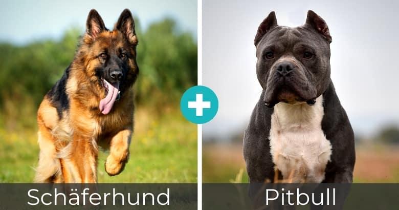 Schäferhund Pitbull Mischling
