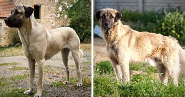 Anatolischer Hirtenhund