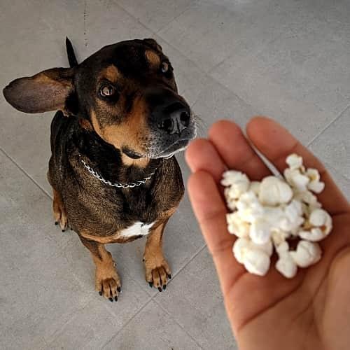 Hund mit Popcorn als Leckerli