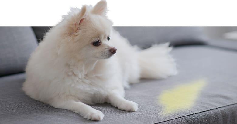 Hund mit Pipi auf dem Sofa