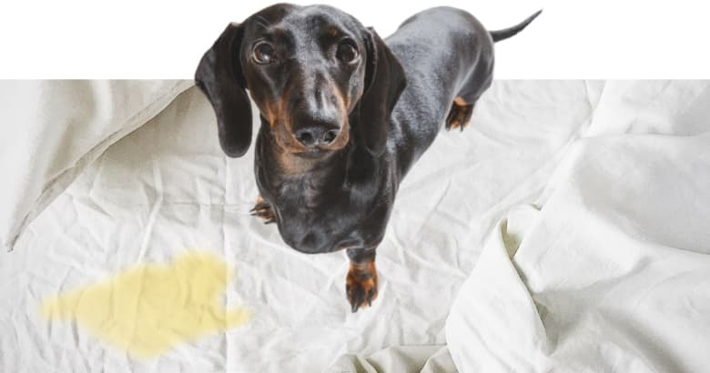 Hund pinkelt ins Bett