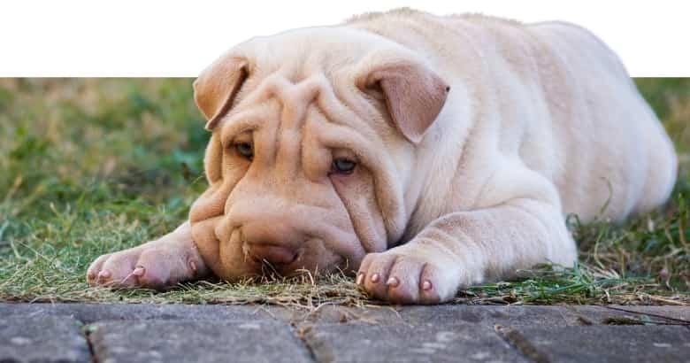 Stöhnender Hund