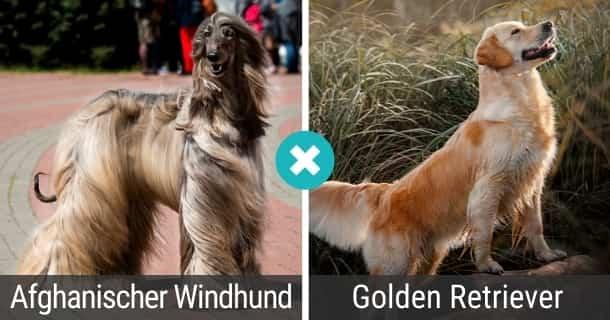 Afghanischer Windhund Golden Retriever