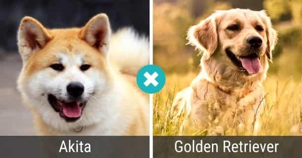 Akita Golden Retriever Mix