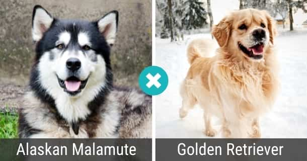 Alaskan Malamute Golden Retriever Mix