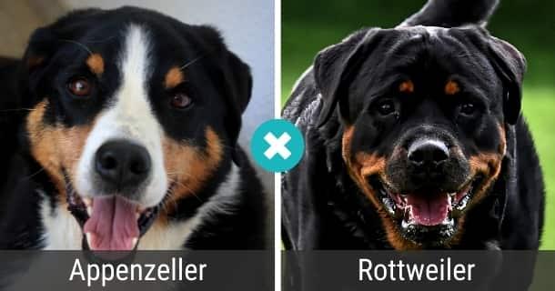 Appenzeller Rottweiler Mischling
