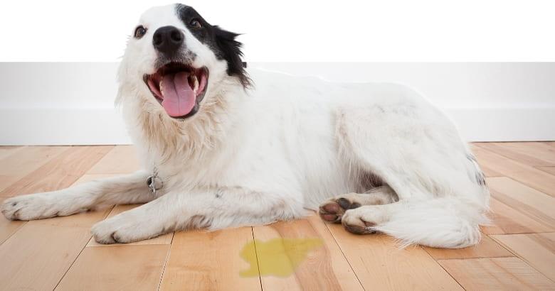 Aufgeregter Hund mit Urinfleck