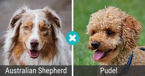 Australian Shepherd Pudel Mix