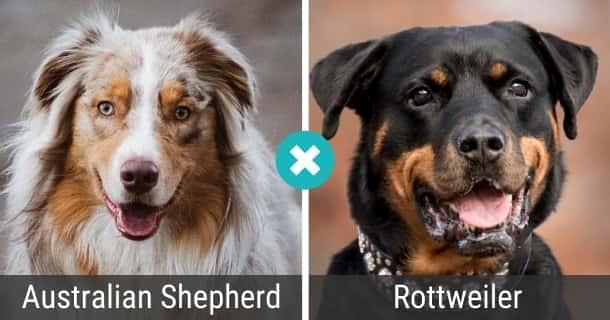 Australian Shepherd Rottweiler Mischling