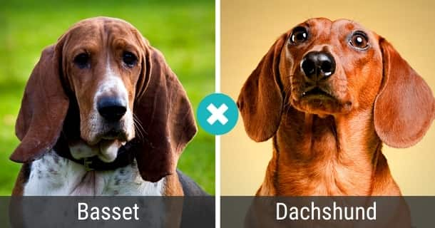 Basset Dackel Mischling