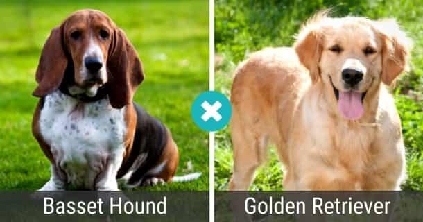 Basset Hound Golden Retriever Mix