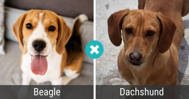 Beagle Dackel Mix