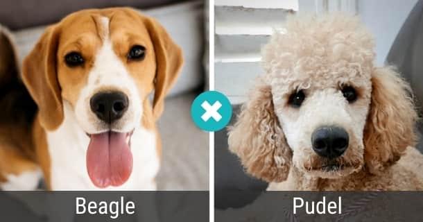Beagle Pudel Mix