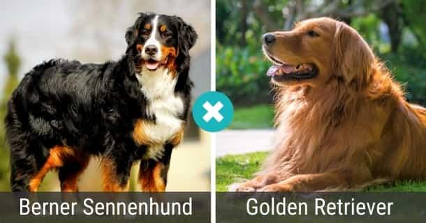 Berner Sennenhund Golden Retriever Mix