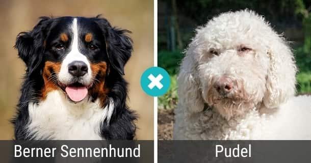 Berner Sennenhund Pudel Mix