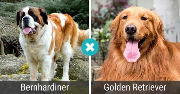 Bernhardiner Golden Retriever Mix