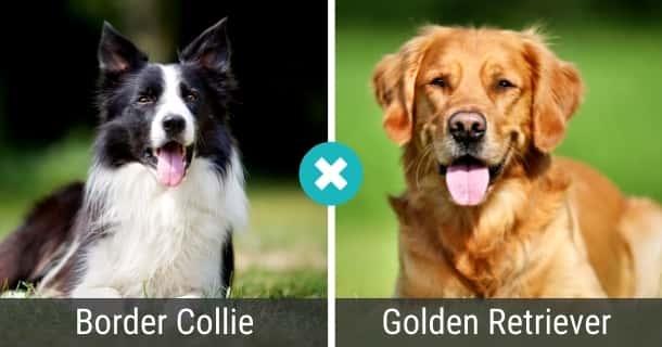 Border Collie Golden Retriever Mix