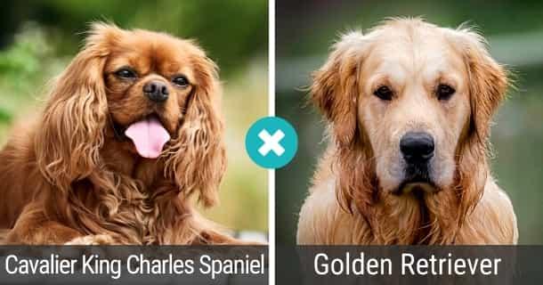 Cavalier King Charles Spaniel Golden Retriever Mix