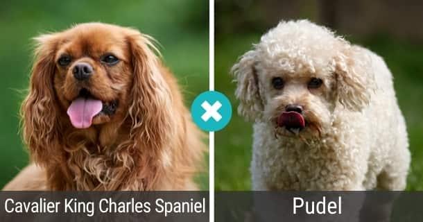 Cavalier King Charles Spaniel Pudel Mischling