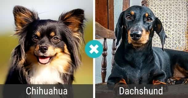 Chihuahua Dackel Mischling