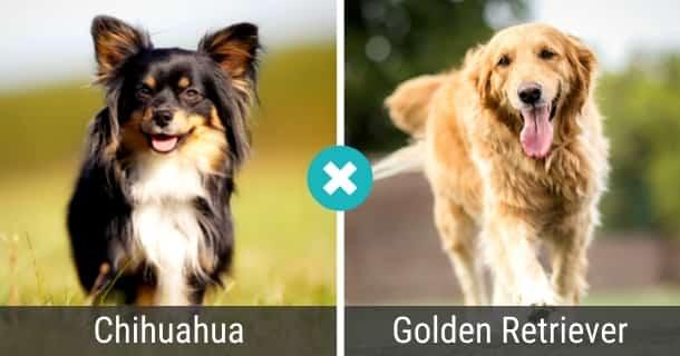 Chihuahua Golden Retriever Mix