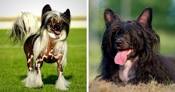 Chinesischer Schopfhund