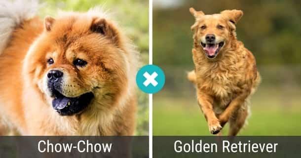Chow-Chow Golden Retriever Mix