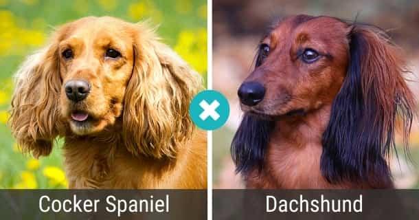 Cocker Spaniel Dackel Mix
