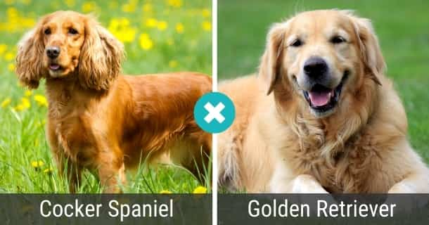 Cocker Spaniel Golden Retriever Mix