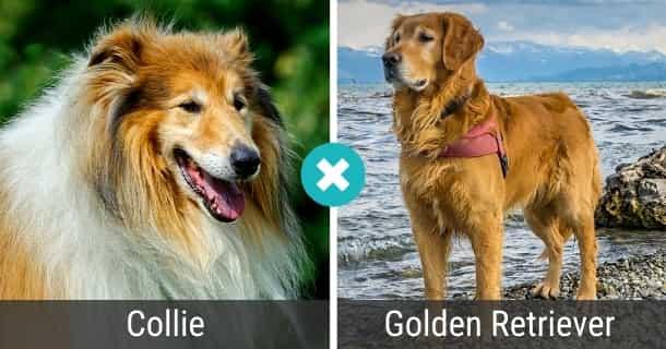 Collie Golden Retriever Mix