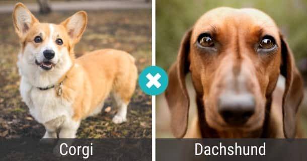Corgi Dackel Mischling