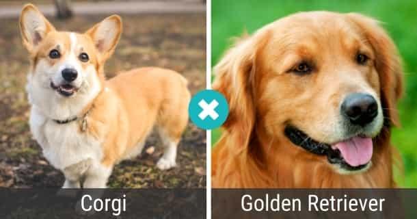 Corgi Golden Retriever Mix