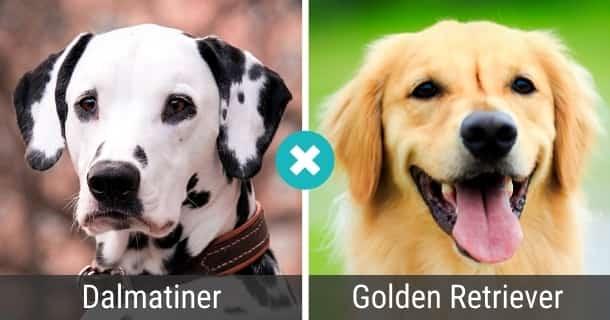 Dalmatiner Golden Retriever Mix