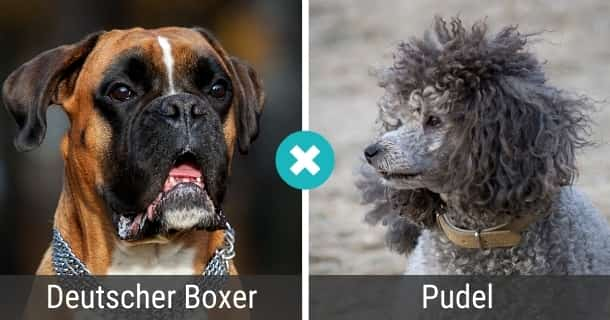 Deutscher Boxer Pudel Mix