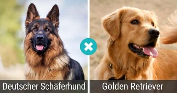 Deutscher Schäferhund Golden Retriever Mix