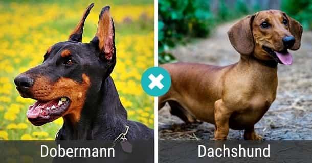 Dobermann Dackel Mix